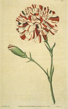 """Franklin's Tartar"" ~ looks like a striped carnation"