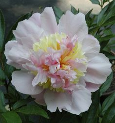 'Philomele' Herbaceous Peony (Cricket Hill Garden)