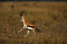 Gazelle Running | Thomson's Gazelle Running - BF003048 - Rights Managed - Stock Photo ...