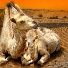 Camels ~ Mama and baby