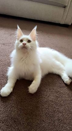 white mainecoon cat