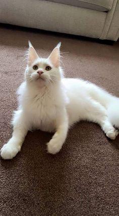 white mainecoon cat
