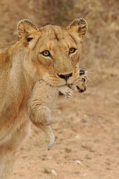Lioness with cub in mouth