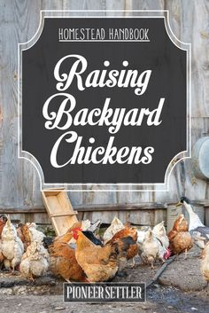 Raising Backyard Chickens – Homestead Handbook | Self-sufficient Skills On How To Produce Eggs and Meats For Survival by Pioneer Settler at http://pioneersettler.com/raising-backyard-chickens/