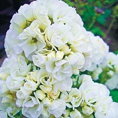 Hirts: Phlox Tiara Phlox Perennial - Double White Blooms - One Quart Pot : Phlox Phlox Perennial, Phlox Plant, Perennials, White Flowers, Beautiful Flowers, Single Flowers, Cut Flowers, Short Plants, Small Backyard Landscaping