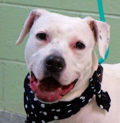 """SOY - A1064549 - - Manhattan  Please Share:   TO BE DESTROYED 02/27/16 A volunteer writes: """" She is a very gentle dog… She is amazing with children…She loves anyone, people or pooches, who wants to love her….."""" This is what Soy's former owner related to us when he surrendered her into our care because of housing issues. Soy is an elegant lady, a cross between a Pitie and a Labrador. I would add a Dalmatian to the duo. She was owned since"""