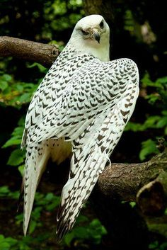 Falcons are medium sized birds of prey found all across the world although falcons tend to prefer the more temperate regions of the Northern Hemisphere.