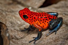 Tropical Animals, Exotic Animals, Exotic Pets, Frog Pictures, Animal Pictures, Amphibians, Reptiles, Strawberry Poison Dart Frog, Frog Species