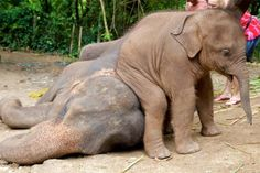 Baby Elephant making a Seat out of his Older Brother.
