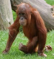 Resultado de imagen para orangutan