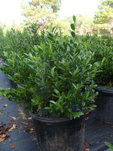 We Curly Provide Ornamental Trees A Wide Variety Of Junipers Evergreen And Deciduous Shrubs