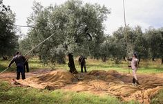 Olive farmers strike the olives from the trees!