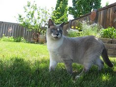 Siamese mix with beautiful blue eyes