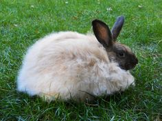 "French angora rabbit (They have clean heads) the ones where you go  - ""Where Are Their Eyes"" are English..."