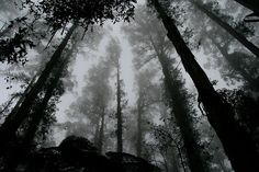worms eye view of fog covered forest Dark forest canopy Free Pictures, Free Photos, Free Images, Free Pics, The Shining, Creepy, Scary, 6 Photos, Nature Photos