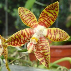 Phal Species Fasciata @Royal Orchid Club