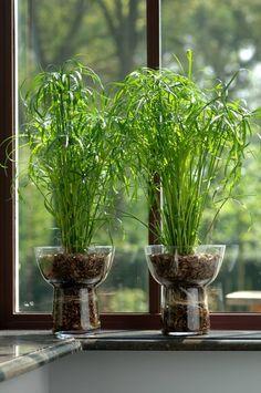 Cyperus alternifolis - umbrella papyrus plant
