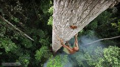 A Bayaka tribesman climbs a tree in the Central African Republic to reach the most sought after of jungle foods – honey.
