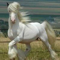 This is a Gypsy Vanner Stallion. His mane is covering his brown ears and blue eyes. And his other side has patches on it. All The Pretty Horses, Beautiful Horses, Animals Beautiful, Cute Animals, Majestic Horse, Majestic Animals, Gypsy Horse, Draft Horses, White Horses
