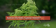 #Baldıran Otu Nedir, Faydaları Nelerdir? Doğal Şifa Rehberi  http://www.dogalsifarehberi.com/baldiran-otu-nedir-faydalari-nelerdir-81h.html  #dogalsifarehberi #botanik #şifalıbitki #alternatiftıp  Maydanozgiller familyasından olup; nemli yerlerde yetişen, 2 metre kadar boyunda olan zehirli bir bitkidir. Yaprakları büyük; gövdesi kalındır. Saplarının alt kısmı erguvani renktedir.