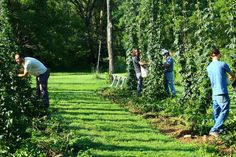 The challenges and rewards of growing hops and grain for beer in North Carolina.