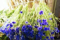 cornflower blue flowers - Google Search