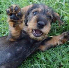 """""""Play time!"""", Dachshund photograph by Jolanta Jeanneney .... August 5, 2012 post"""