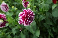 Flag The 'Edinburgh' is an heirloom—or heritage in British parlance—dahlia from Best Perennials, Flowers Perennials, Purple Perennials, Growing Flowers, Planting Flowers, Evergreen Flowering Shrubs, Shrubs For Landscaping, Mailbox Garden, Night Blooming Flowers