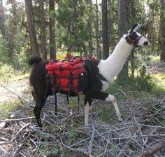 MARIAH Llamas, Trekking, Adventure, Outdoors, Paintings, Animals, Activities, Google Search, Outdoor