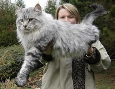 Image result for most beautiful maine coon cat