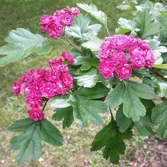 «Боярышник колючий декоративная форма 'Paul's Scarlet' из Сиреневого сада в Сокольниках. Как вам…»