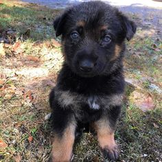 #tbt to when I was only a shy 5 week old teddy bear. Now I'm a rambunctious 9week old who runs and hides from mommy when it's time to go inside #throwbackthursday #baby #puppy #puppiesofinstagram #gsdofinstagram #germanshepherdsofinstagram #gsd #gsdpuppy #gsdlove #germanshepherd #germanshepherdpuppy #cute by harleyh_gsd