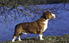 drever dog photo | Drever - Information, pictures and videos | DBS