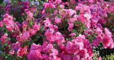 kletterrose lawinia roses climbing pinterest gardens. Black Bedroom Furniture Sets. Home Design Ideas