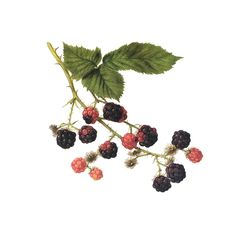 evergreen blackberry botanical drawing at DuckDuckGo Vine Tattoos, Body Art Tattoos, Tatoos, Botanical Flowers, Botanical Art, Plant Illustration, Botanical Illustration, Blackberry Tattoo, Blackberry Plants