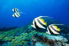 Bannerfish- diving at Six Senses Laamu http://www.theprivatetravelcompany.co.uk/hotels/six-senses-laamu/