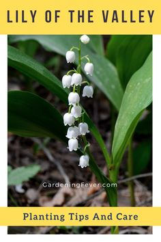 Lily of the valley, botanically Convallaria Majalis, stands out as one of the most heavenly fragrant and elegantly vibrant spring plants. In this blog post you'll find everything you need to know about this beautiful plant - lily of the valley and how to take care of Convallaria Majalis properly. The best tips on gardening for beginners #plants #LilyOfTheValley #gardening #gardeningtips #healthyplants #growingplants #flowers #gardeningfever Cool Diy, Fun Diy, Backyard Farming, Backyard Landscaping, Gardening For Beginners, Gardening Tips, Spring Plants, Garden Care, Companion Planting