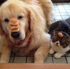 Mangiano e dormono insieme, ma soprattutto assumono uno vicino all'altro posizioni esilaranti: sono il labrador e il gatto protagonisti di questi scatti, raccolti nel profilo Instagram di Izumi Kanno  izumiecha