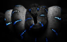 Snake in black and white with splashes of blue.