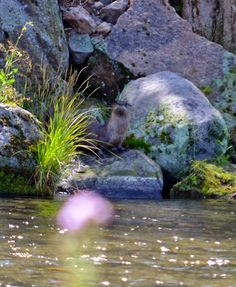 North American River Otter - Lontra canadensis | Shooting From The Hip