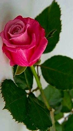 Beautiful Flowers Pictures, Beautiful Gif, Flower Pictures, Amazing Flowers, Beautiful Roses, Flower Garden Images, Jesus E Maria, Rose Flower Wallpaper, Rosa Rose