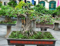 """Types of Bonsai Trees 