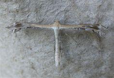 Plume moth - Wikipedia, the free encyclopedia