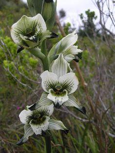 Libreta Botánica: ALGUNOS ALCANCES AL CATALOGO DE ORQUIDEAS CHILENAS IV