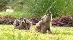 hedgehog doing a wolf howl!
