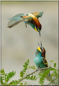 Whimsically colored European Beeeaters
