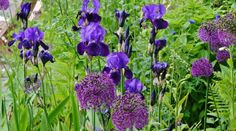 allium purple sensation in mixed perennial planting scheme - Google Search