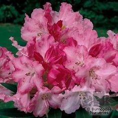 Rhododendron 'Solidarity' from Burncoose Nurseries RHODODENDRON HYBRIDS |