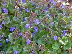 25 talajtakaró növény, melyekkel gyönyörűvé teheted a kertet! Kew Gardens, Camomille Romaine, Plantation, Geraniums, Aloe Vera, Plants, Outdoor, Gardening, Furniture