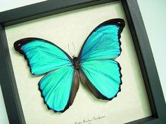 Blue+Butterfly | Morpho menelaus pucallpensis real Blue butterfly butterflies from Peru ...